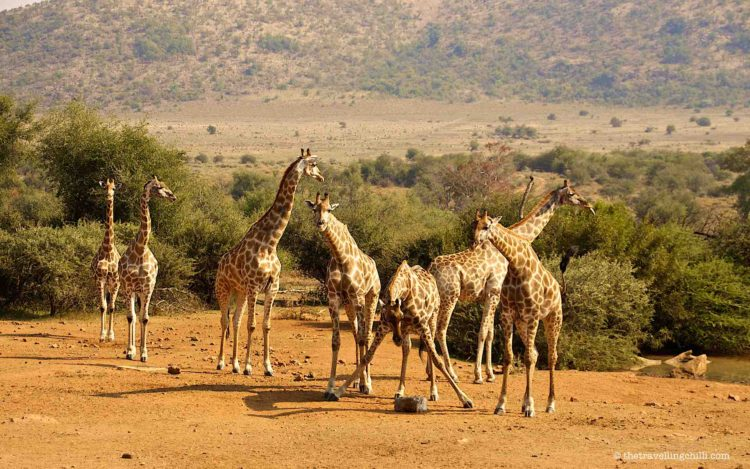 Giraffes in Pilanesberg National Park south africa