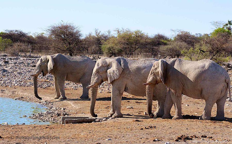 Elephants Etosha Namibia Okaukujo