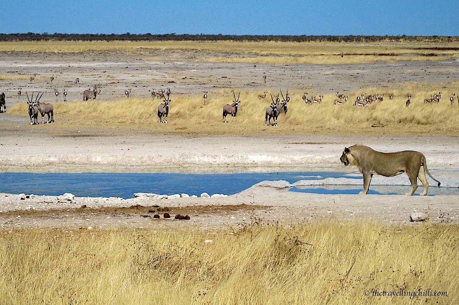 Etosha Namibia waterhole lion oryx
