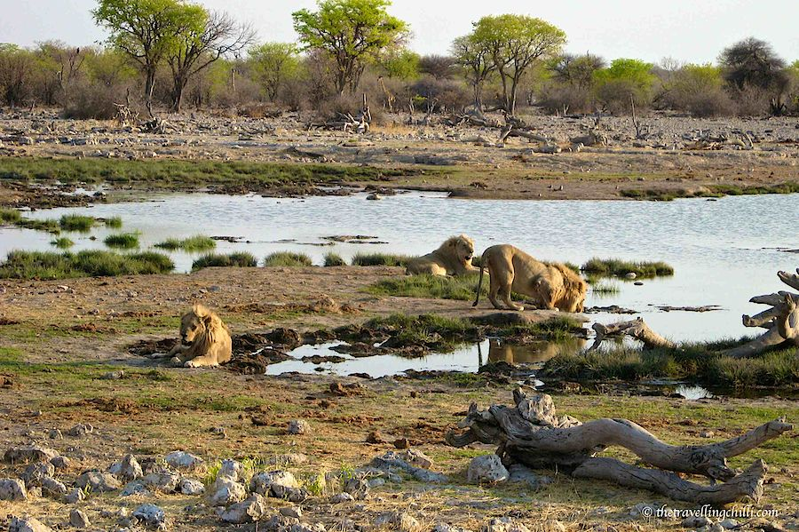 Lions giraffe Etosha Namibia