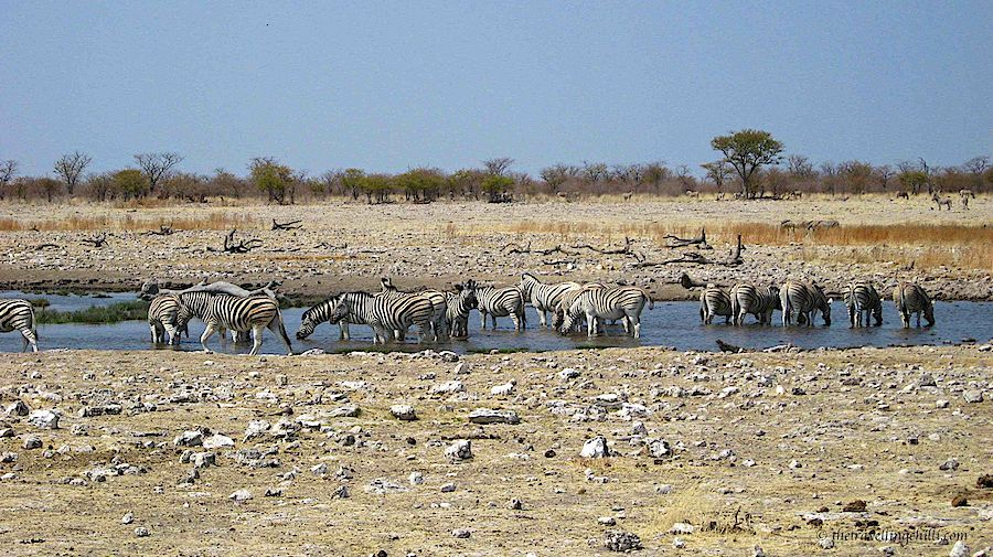 Namibia Etosha zebra waterhole safari