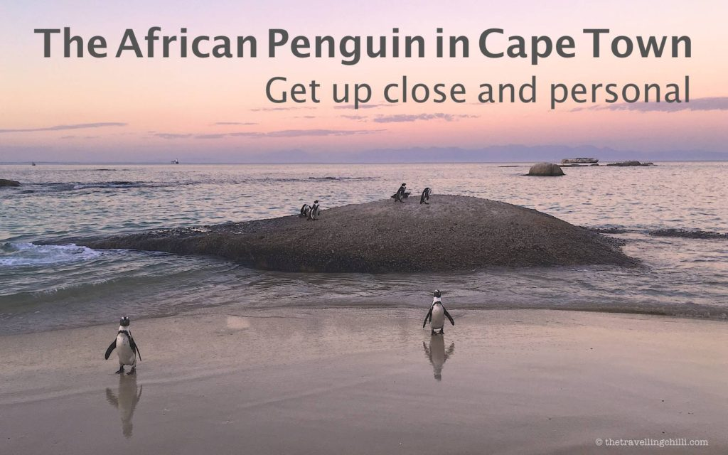 The African penguin in Cape Town, South Africa, get up close and personal