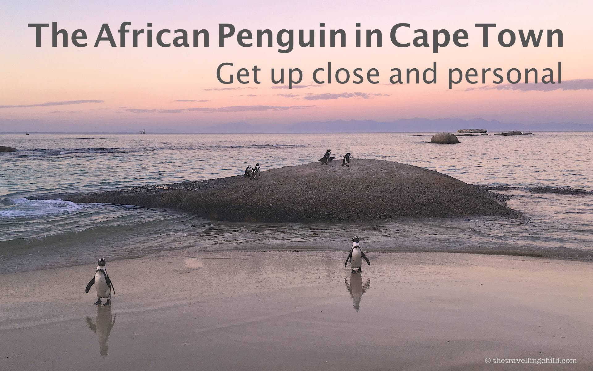 The African Penguin in Cape Town - Get up close and personal - The Travelling Chilli