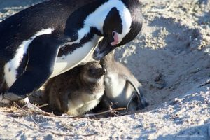Penguins in Cape Town on Boulders beach
