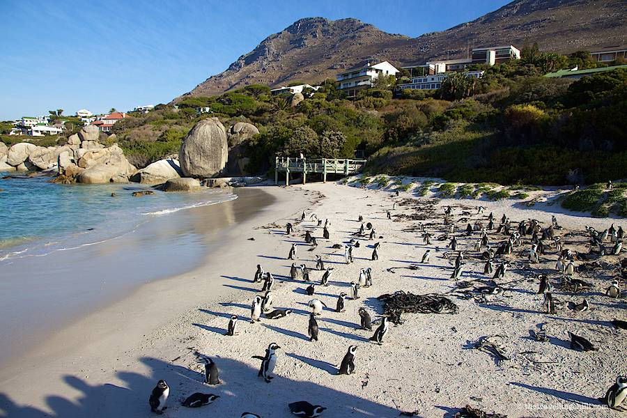 Lots of penguins in Boulders beach close to Cape Town in South Africa with houses in the background