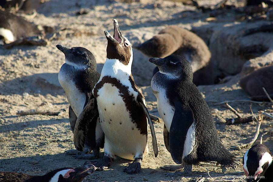 three Jackass penguins calling out on the beach in boulders