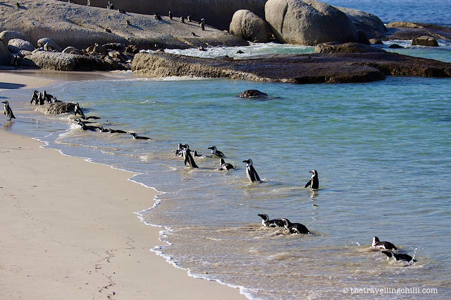 Boulders beach penguins in Cape Town South Africa