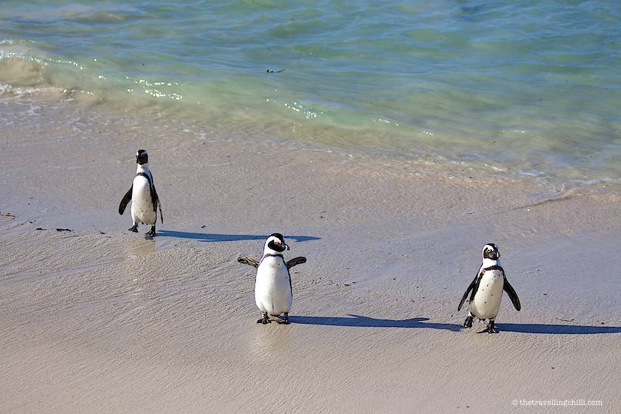 penguins in Boulders beach in Cape Town in South Africa