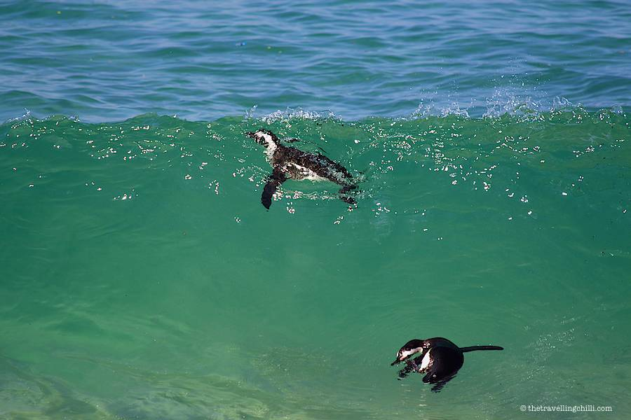 Two African penguins swimming in a wave on boulders beach