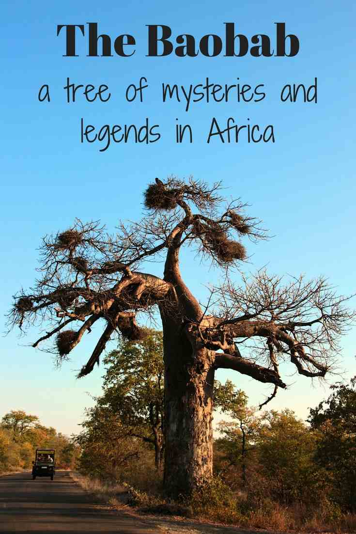 Baobab tree - mystery legends of africa