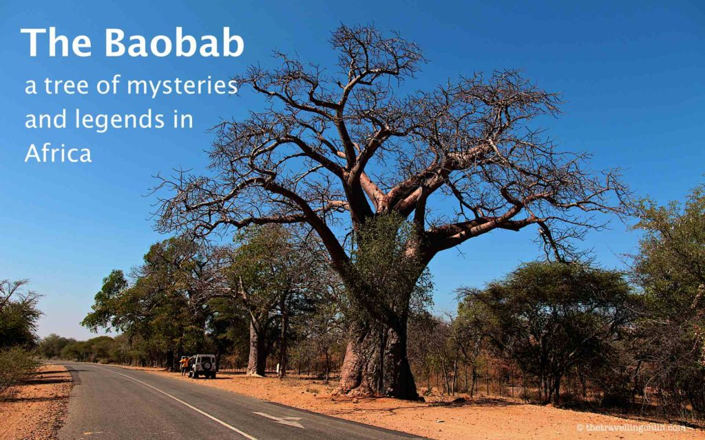 The Baobab - A tree of mysteries and legends in Africa