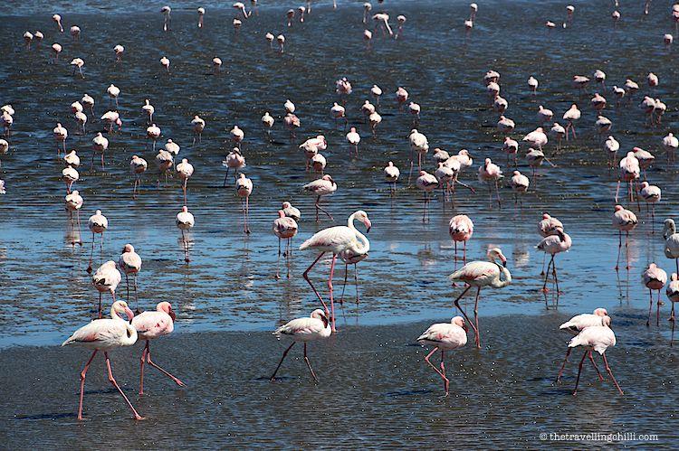bird flamingo namibia walvisbay
