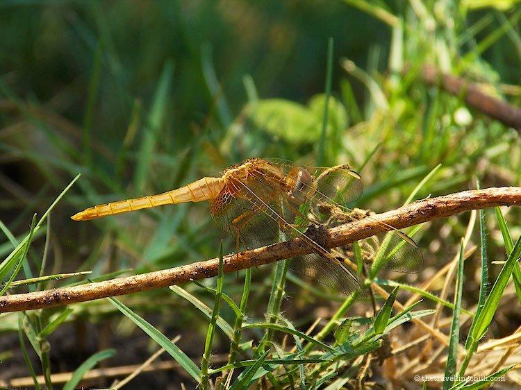Dragonfly Okavango Delta Botswana
