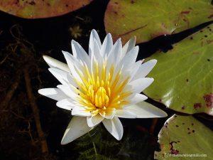 Water Lily Flower Okavango Delta Botswana