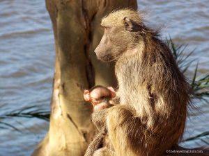 Baboon Kruger National Park South Africa