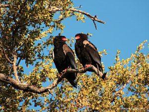 Bateleur Eagle Kruger National Park South Africa