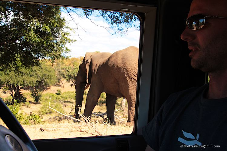 Watching an African Elephant from the car window in Kruger National Park South Africa