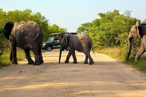 Elephant Kruger National Park South Africa