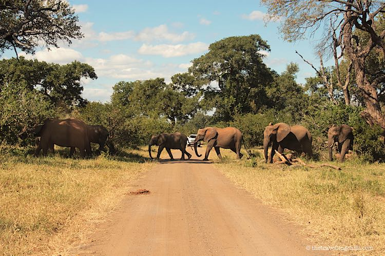 Herd of elephants crossing a dirt road in Kruger park south Africa
