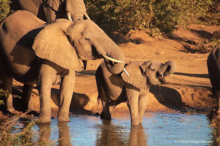 Mother and baby elephant, African elephant drinking at a waterhole on safari during golden hour