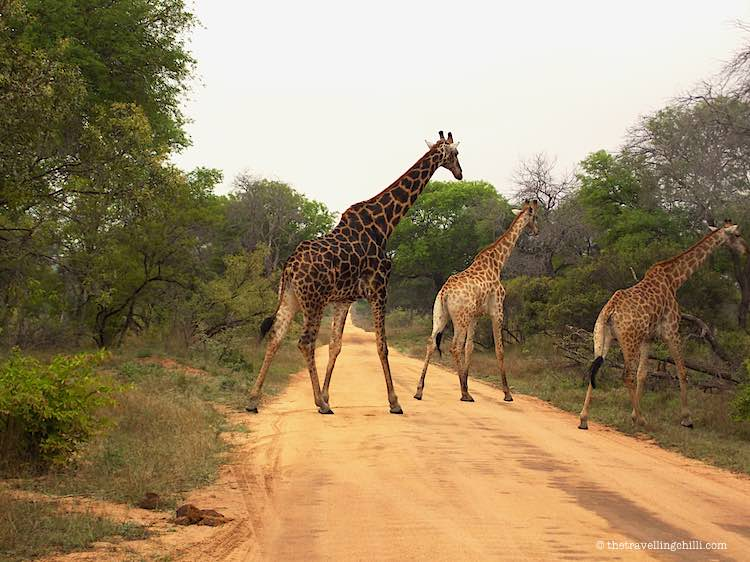 Giraffes crossing a dirt road in Kruger  South Africa
