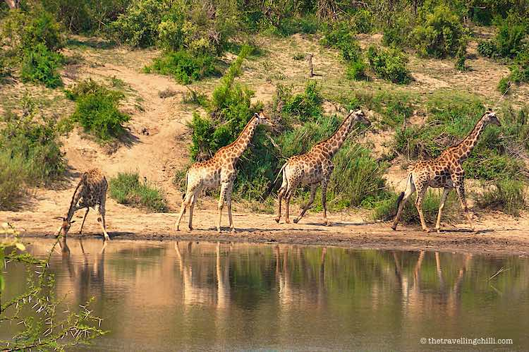 Giraffe walking away from the Sabi river in Kruger National Park South Africa