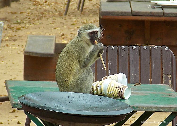 Vervet Monkey licking a stick in Kruger National Park South Africa