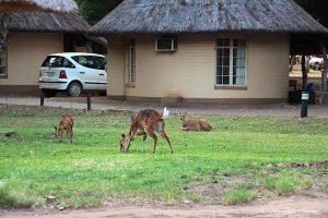 Bushbuck Kruger National Park South Africa