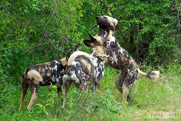 Wild dogs playing in Kruger National Park South Africa
