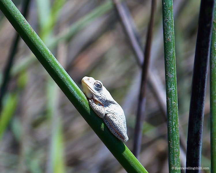 Reef Frog Okavango Delta Botswana