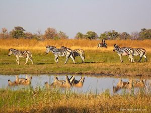 Zebra in the Okavango Delta Botswana