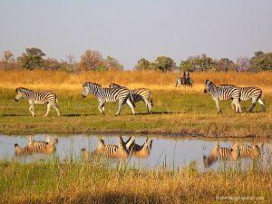 Zebra in the Okavango Delta Botswana