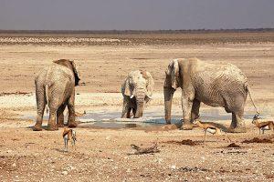 Elephants taking a mudbad at Nebrowni waterhole Etosha National Park Namibia