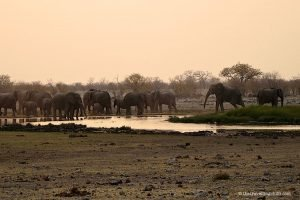 Herd of Elephants taking a bath during sunrise at Namatoni waterhole in Etosha National Park Namibia