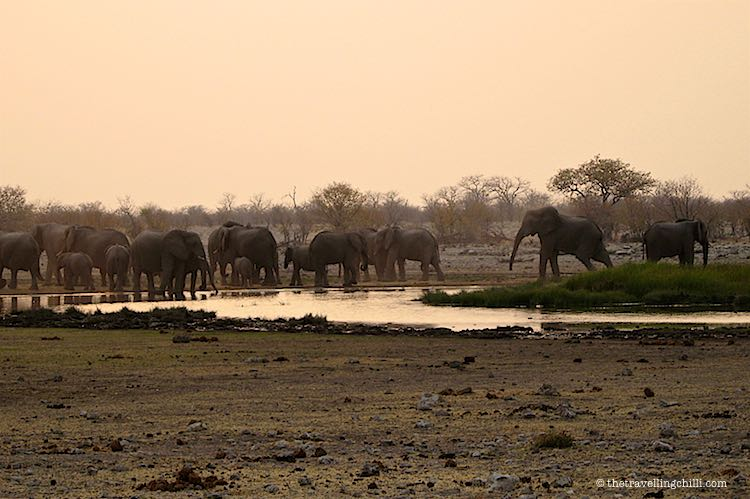 Herd of Elephants taking a bath during sunrise at Namatoni waterhole in Etosha National Park Namibia