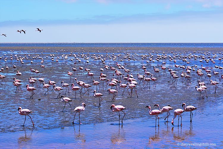 Hundreds of pink Flamingoes on shore of the ocean in Walvisbay Namibia