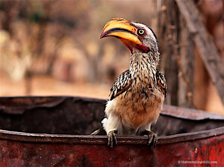 Yellow billed hornbill sitting on the rubbish bin in Namibia