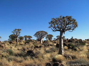 Quiver Tree Forest in Keetmanshoop Namibia with lots of Kokerboom