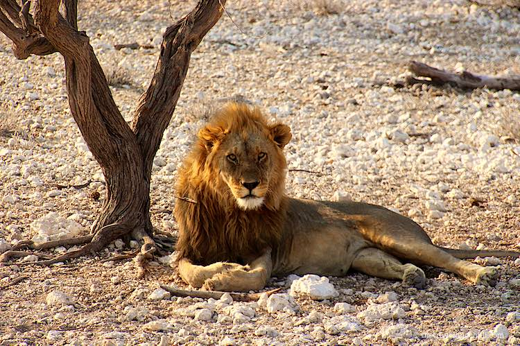 Male Lion with large yellow mane in Etosha National Park Namibia