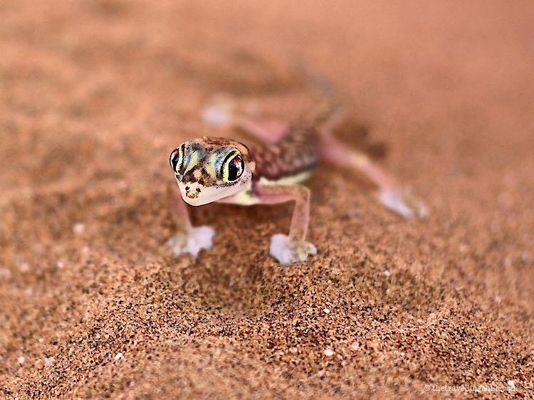 Web-footed Gecko very colourful in the Namibian desert