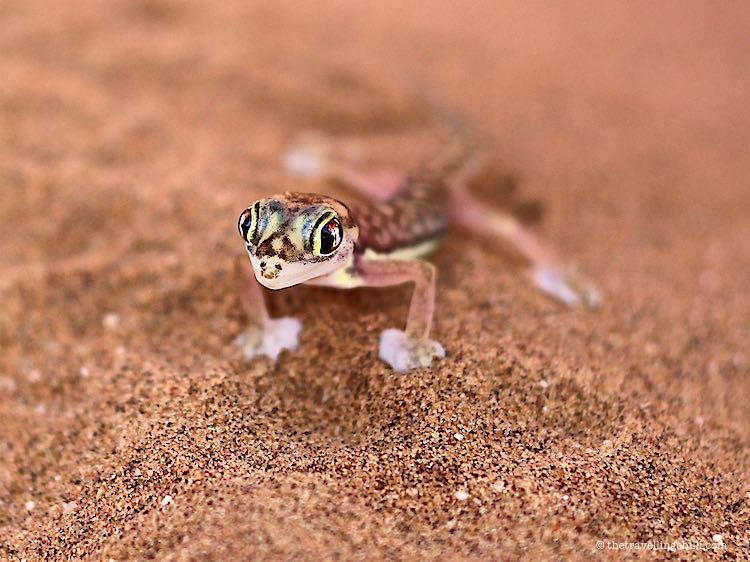 Gecko Namibia