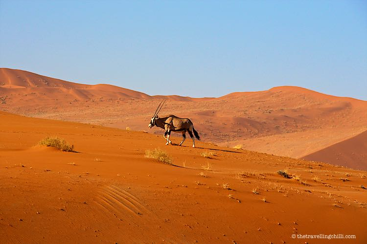 Oryx Gemsbok climbing up a red dunes in Sossusvlei dunes Namibia