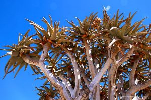 Kokerboom or Quiver Tree with blue sky in Namibia