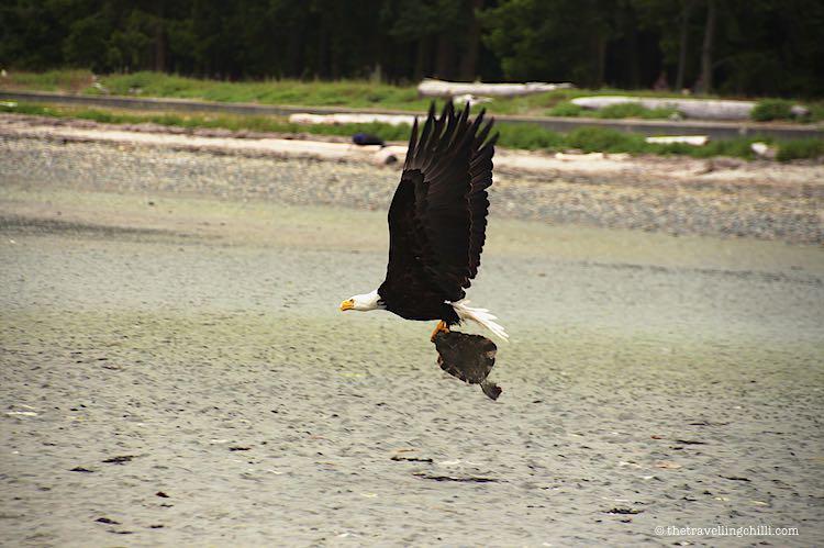 Rathtrevor Beach Bald Eagle Canada