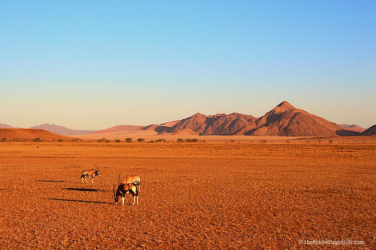 3 oryx or gemsbok grazing on the red sand of the Namib desert in Namibia in Sossusvlei