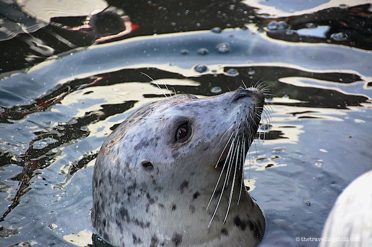 vancouver island seal