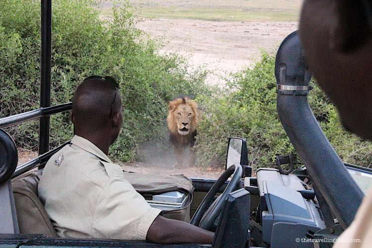 lion Chobe National Park Safari in Botswana