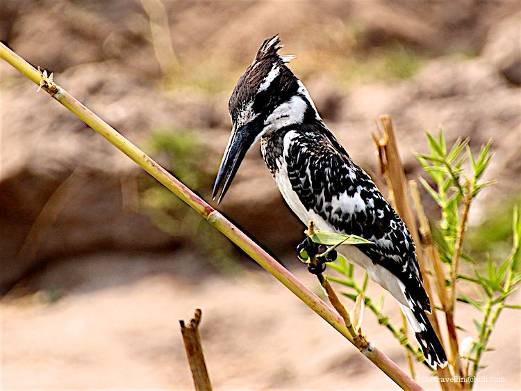 Pied Kingfisher Chobe National Park Safari in Botswana