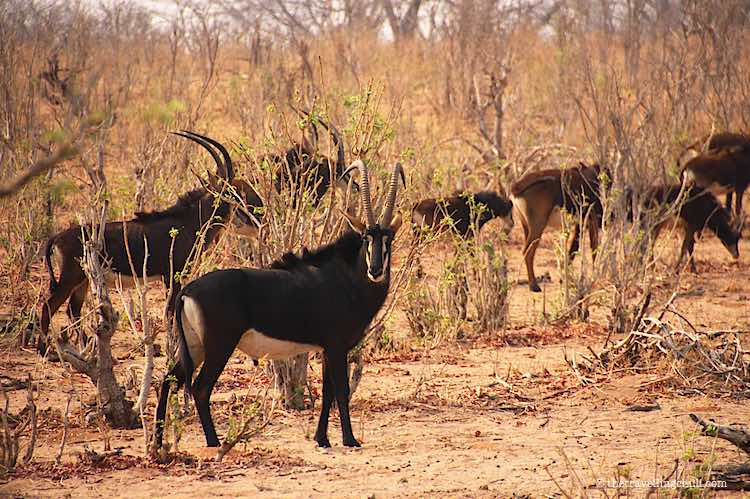 Sable Antelope Chobe National Park Safari in Botswana
