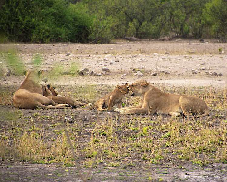 Pride of LionsChobe National Park Safari in Botswana